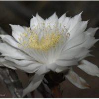Night-blooming Cereus: 2021 Bloom Night #1