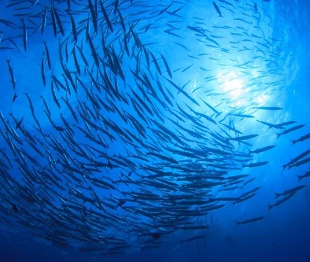 Swirling School Of Barracuda As Seen From Below
