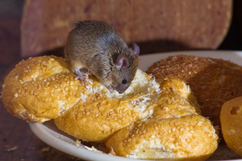 mice eating home food