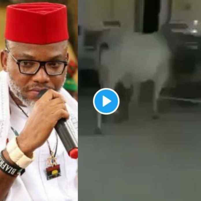 Mazi Nnamdi Kanu Reacts As Cow Invades Nigerian Hospital Ward [VIDEO]