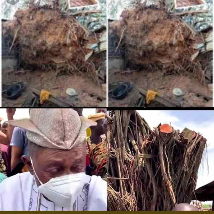 Alaafin Of Oyo Stunned As Fallen 100-Year-Old Tree Re-Erect Self Within 24-Hours