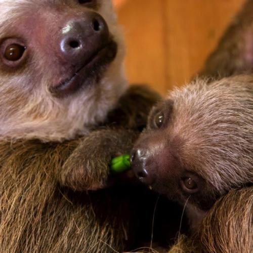 Zoo Atlanta is letting Georgians vote to name this baby sloth