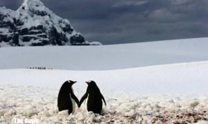 aşık penguenler
