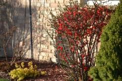 Quince bush