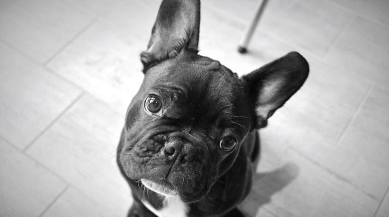Bulldog Francese -TheGiornale.it