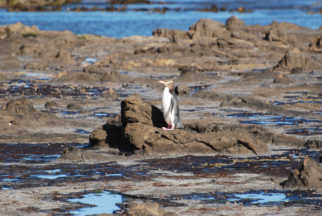 Ten reasons to visit New Zealand: Curio Bay and yellow-eyed penguins