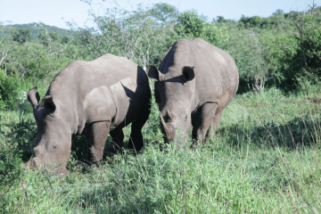 SOUTH AFRICA : White rhinoceros and her offspring
