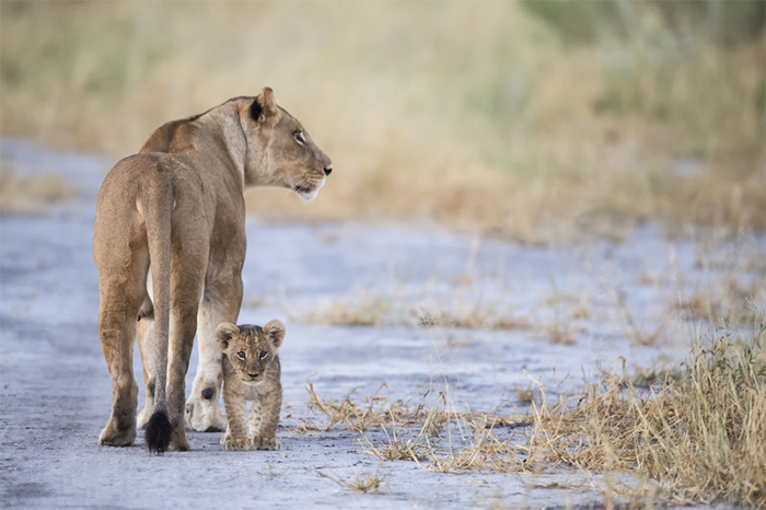 A lion and her alone in Botswana