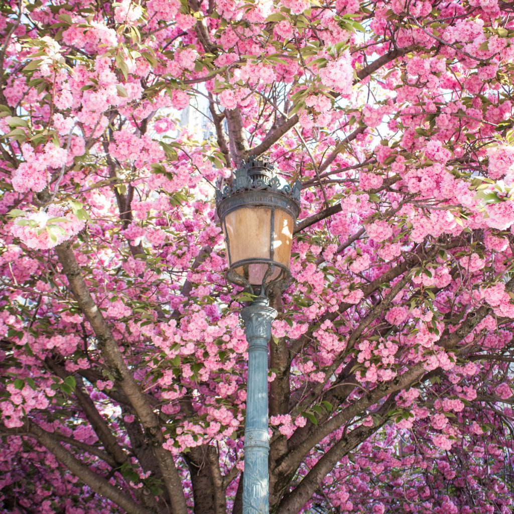 Cherry blossoms in Paris- THE GLITTERING UNKNOWN