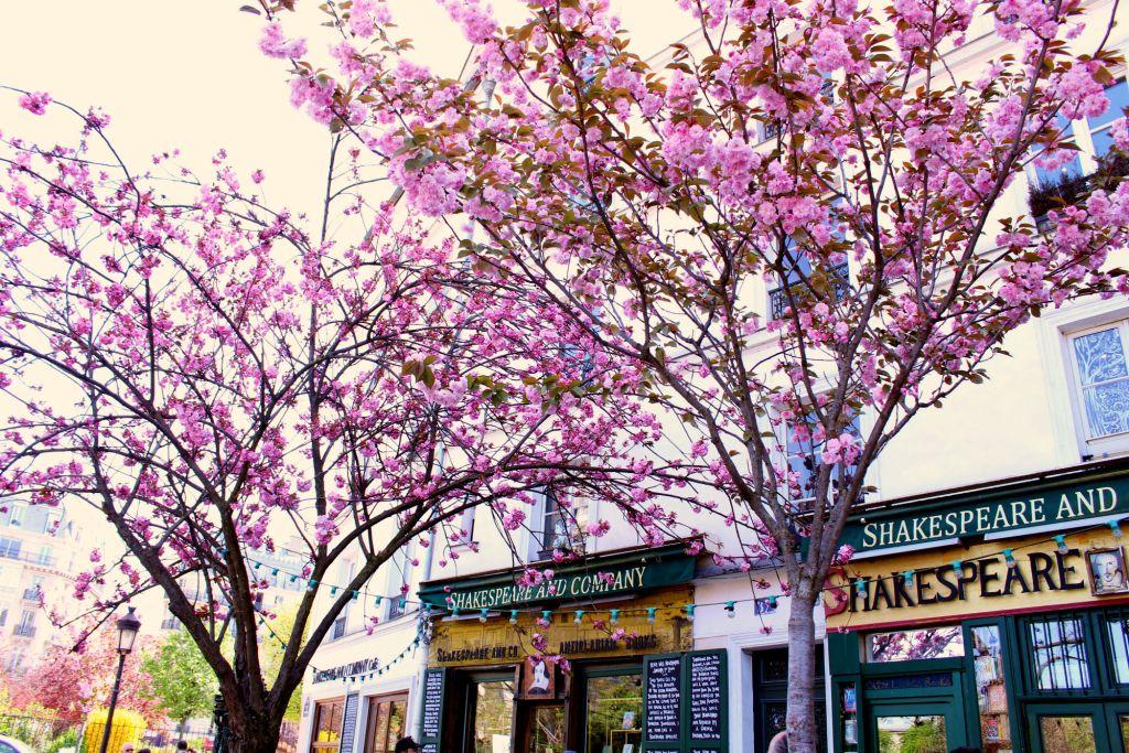 Cherry blossom Paris- Shakespeare & Company| The Glittering Unknown