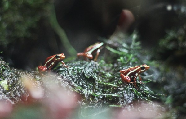 Tiny frogs at Vancouver Aquarium