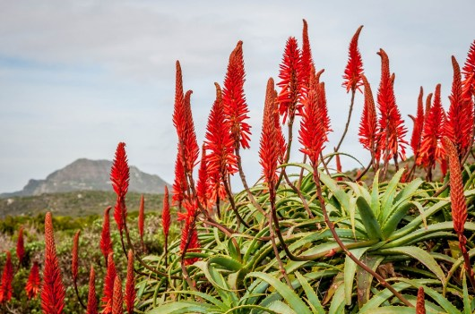 South-Africa-Cape-Point-Route-flora