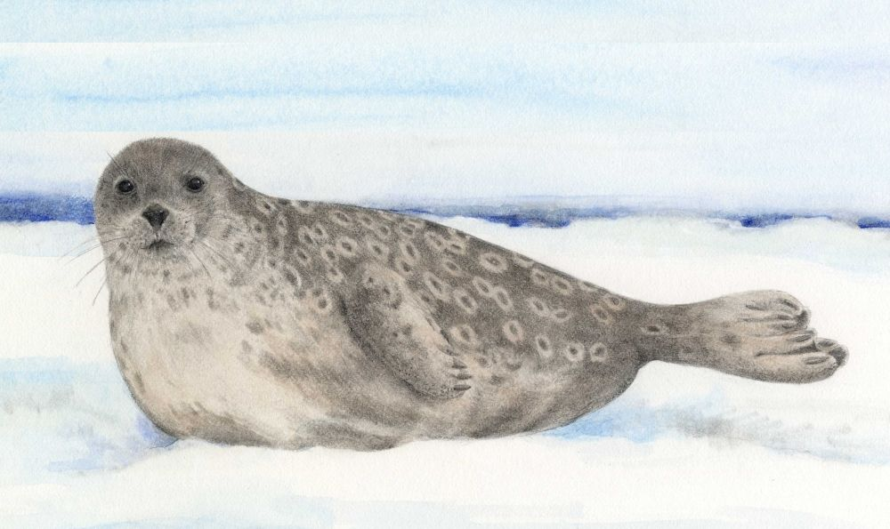 Ringed Seal Animals At Risk From Climate Change