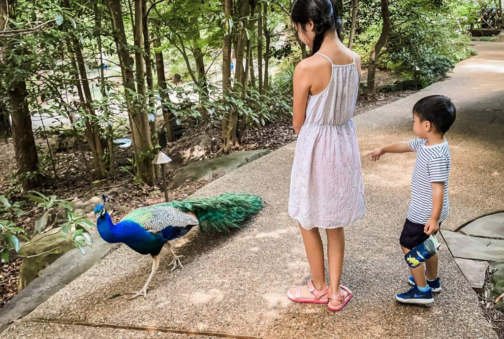 Girl and boy looking at George the peacock