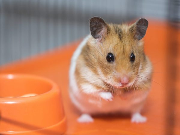 hamster inside a cage
