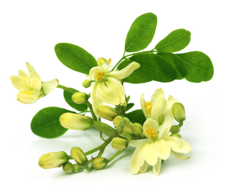 Edible moringa flower