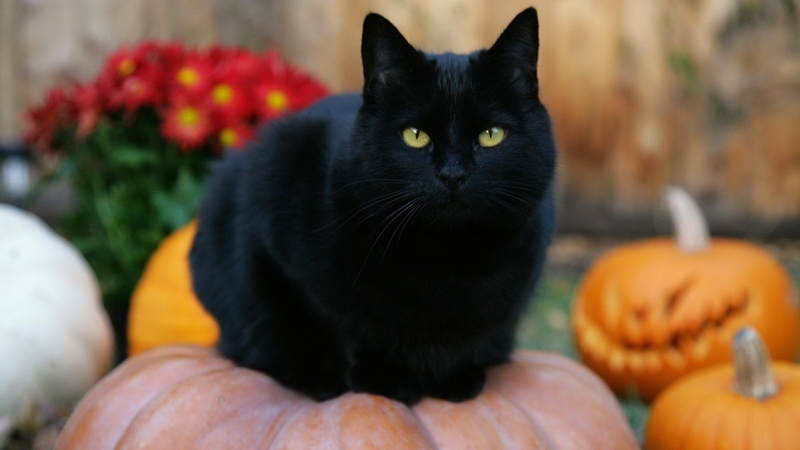 Myths and Superstitions Halloween and Black Cats