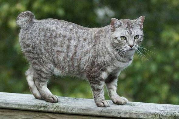 American Bobtail Grey Tabby
