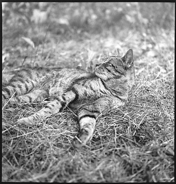 Walker Evans, Cat in the Grass
