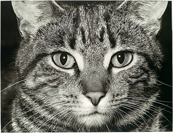 Walker Evans, Tabby Cat Close Up
