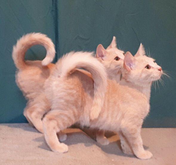 American Ringtail Kittens