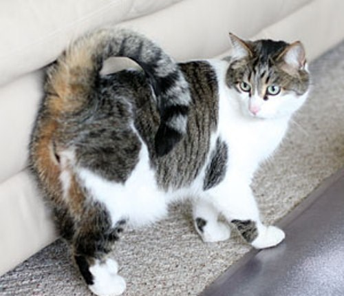 American Ringtail Cat at The Great Cat