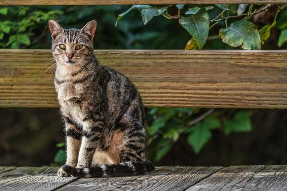 American Shorthair Cat 2