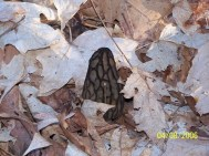 Black morel