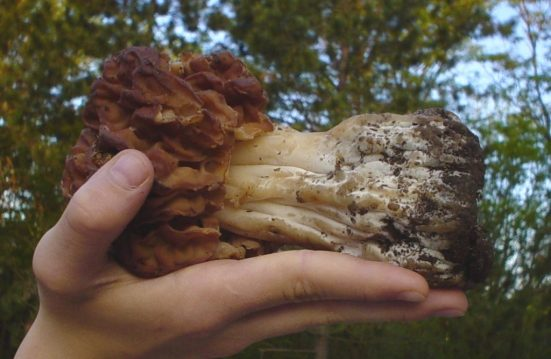 False Morel