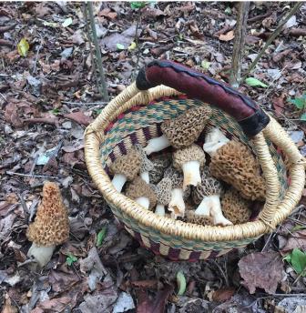 Alabama Morels Photo courtesy of JK_Hale 3/31/2017