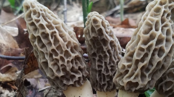 finding morels in the various regions of the US