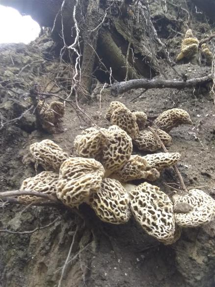 Illinois Morel Cluster (2019)