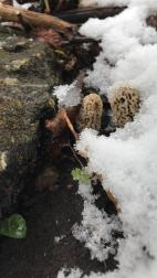 Morels in snow Wisconsin