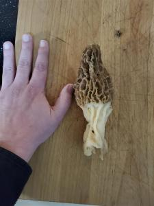California Morels