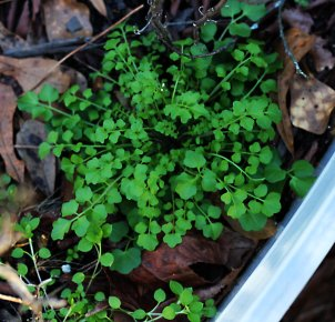 foraging for Bittercress - image courtesy of Wild Edible