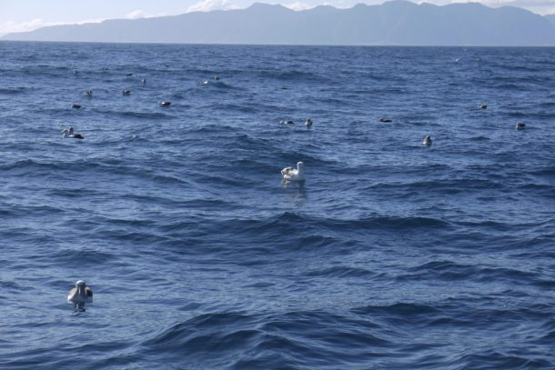 Infinity Expedition-Albatrosses hoping for lunch