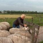 schapen scheren door Anneke Coupier Workshopteacher Vilten bij The Green Circle Workshops in de Natuur - Ambacht van Nu