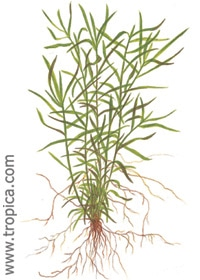 Heteranthera zosterifolia - Buy Tropcial Nature Aquarium Plants