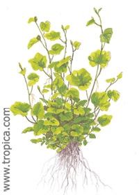 Image of Cardamine lyrata buy aquatic lpants online
