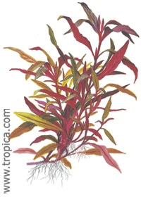 Alternanthera reineckii 'roseafolia' ('Pink') XL - buy tropical aquatic plants o