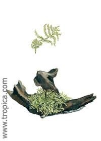 Vesicularia dubyana Christmas on wood - Mini - Image