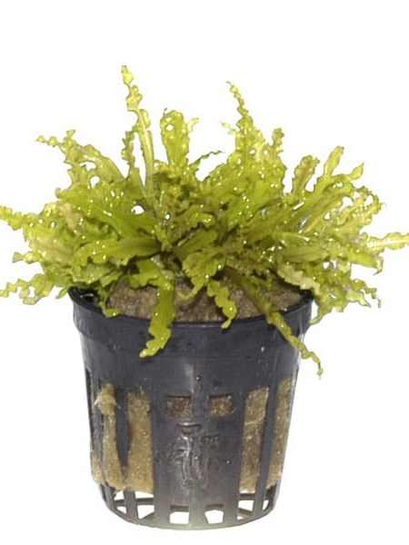 Image of Pogostemon Helferi - buy tropical plants online