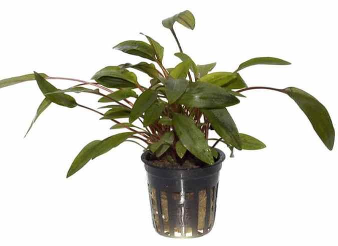 Cryptocoryne undulata 'broad leaves' - buy tropical aquarium plants online