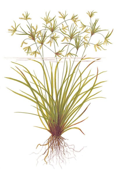 Image of Cyperus helferi buy tropical aquarium plants online