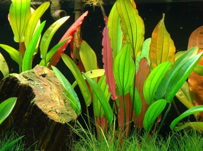 Image of Echinodorus 'Red Diamond' buy tropical aquarium plants online