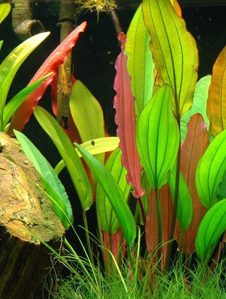 Image of Echinodorus 'Red Diamond' buy tropical aquarium plants online