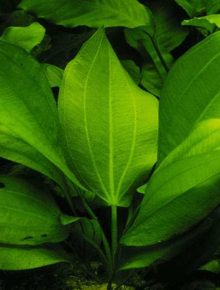Image of Echinodorus cordifolius ssp. fluitans buy tropical aquarium plants onli