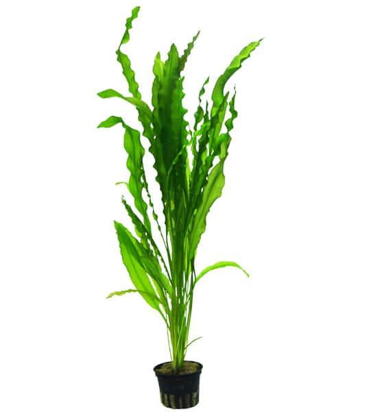 Aponogeton crispus, buy Tropica aquarium plants at The Green Machine