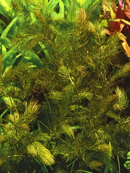 Image of Ceratophyllum demersum 'Foxtail' buy aquatic plants online