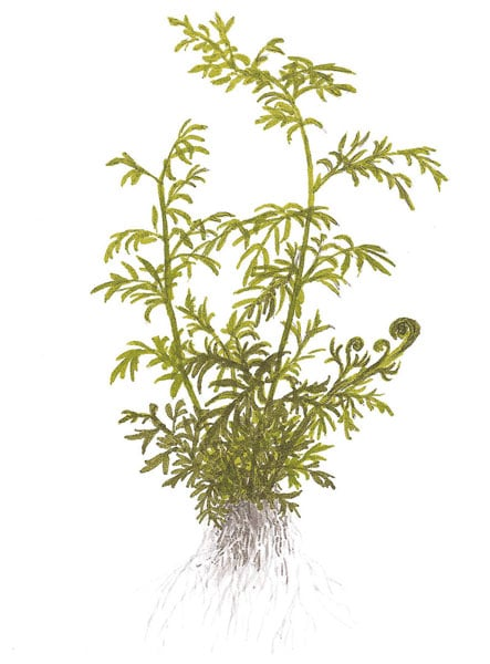 Image of Ceratopteris thalictroides buy aquatic plants online